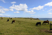 Cows  at Lizard point, Cornwall — Stock Photo