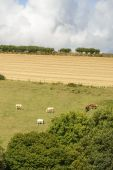 Horses  on  green hilly pasture , Cornwall — 图库照片