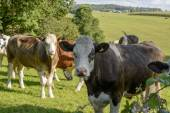 Group of cows pasturing in Cornwall countryside near Looe — Stock Photo
