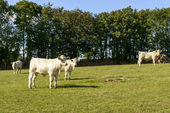 Group of cows pasturing in Devon countryside near North Bovey — Stock Photo