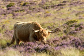 Higland cattle among heather, Dartmoor — Fotografia Stock