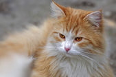 Ginger cat looks ahead close up — Стоковое фото