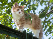 Red cat is on the fence — Stock Photo