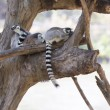 Ring-tailed lemur family sitting on the tree — Stock Photo #62569485