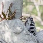 环尾狐猴,坐在树上 — 图库照片 #62570989