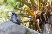 Ring-tailed lemur sitting on the tree — Stock Photo