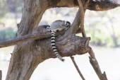 Ring-tailed lemur family sitting on the tree — Stock Photo