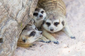Meercat family under a tree — Stock Photo