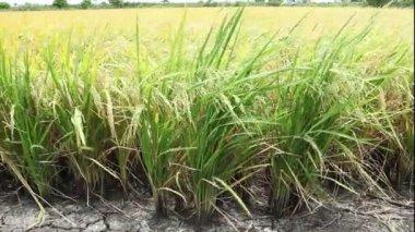 Fazenda de arroz na tailândia — Vídeo stock