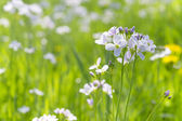 Cuckoo flower in colorful meadow — Stockfoto