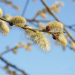 Willow branch blooming against blue sky — Stock Photo #61811507