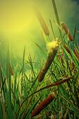 Cattails and Reeds in the morning light — Stock Photo