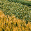 Different varieties of wheat 3 — Stock Photo #66874801
