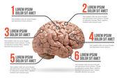 Human brain infographic, vector illustration — Stock Vector