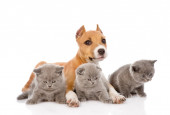Cucciolo di Stafford e tre gattini che si trovano insieme. isolato su bianco — Foto Stock