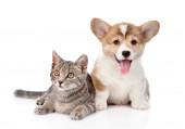 Pembroke Welsh Corgi puppy with cat — Stock Photo