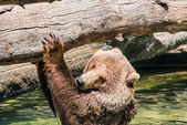 Grizzly Water Fun — Stok fotoğraf
