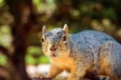 Squirrel Closeup — Stock Photo