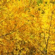 Постер, плакат: Fall Foliage with Aspen Trees