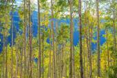 Green Yellow Aspen Trees — Stockfoto