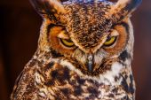 Great Horned Own — Stock Photo