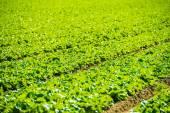 Green Lettuce Field — Stock Photo