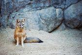 Kit Fox — Stock Photo