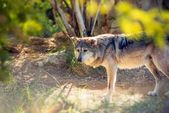 Mexican Wolf Lobo — Stock Photo