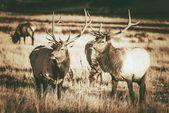 Colorado Elks bende — Stockfoto