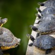 Water Turtles family — Stock Photo #71210209
