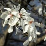 Magnolia — Stock Photo #63162553