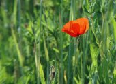 Corn poppy - Papaver rhoeas (126) — Stock Photo
