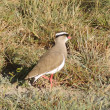 Crowned lapwing — Stock Photo #68788075