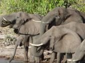 Group of Elephants in Botswana — Stock Photo