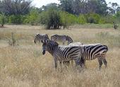Flock of zebras — Stock Photo