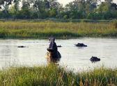 Hippos in Botswana — Stock Photo