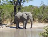 Elephant in Botswana — Stock Photo
