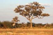 Giraffes in Botswana — Stockfoto