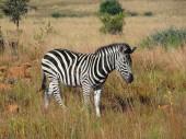 Zebra in Southafrica — Stock Photo
