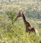 Güney afrika'da zürafa — Stok fotoğraf