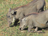 Warthogs in South Africa — Stock Photo