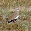 Crowned lapwing — Stock Photo #76605165