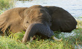 Elephant in Botswana — Stock Photo