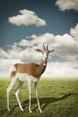 Small gazelle  — Stock Photo