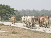 Cow Herd Follow The Leader — ストック写真