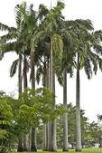 Cuban Royal Palm Tree — Stock Photo