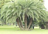 Phoenix Hanceana Var.Taiwanniana Palm Tree — Stock Photo