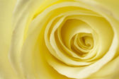 Creamy White Rose Close Up — Stock Photo