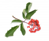 Red sambucus with green leaves isolated on white background — Stock Photo