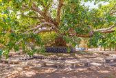 Old tree in Gondar — Stock Photo